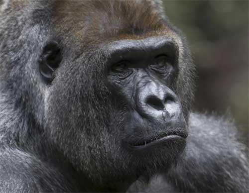 Gorilla Loro Parque