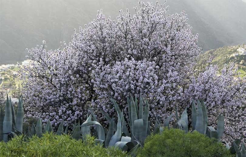 La Fiesta del Almendro en Flor