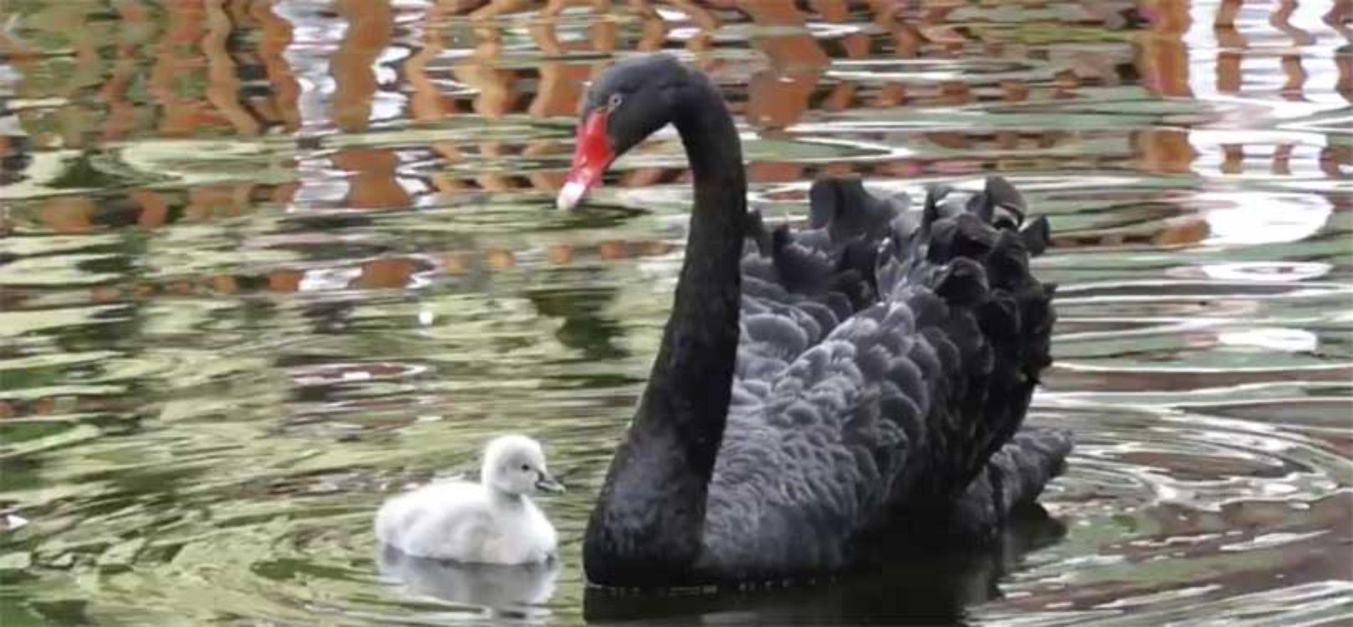 Svarte svaner i Loro Parque ønsker ny kylling velkommen